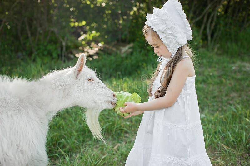 Ένα κορίτσι ποιμένων σε ένα άσπρα φόρεμα και ένα καπό ταΐζει μια αίγα με τα φύλλα λάχανων στοκ εικόνες
