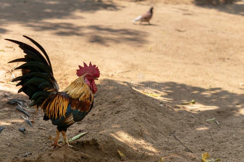 Ένα κοτόπουλο στέκεται κάτω από τη σκιά του δέντρου στοκ εικόνα