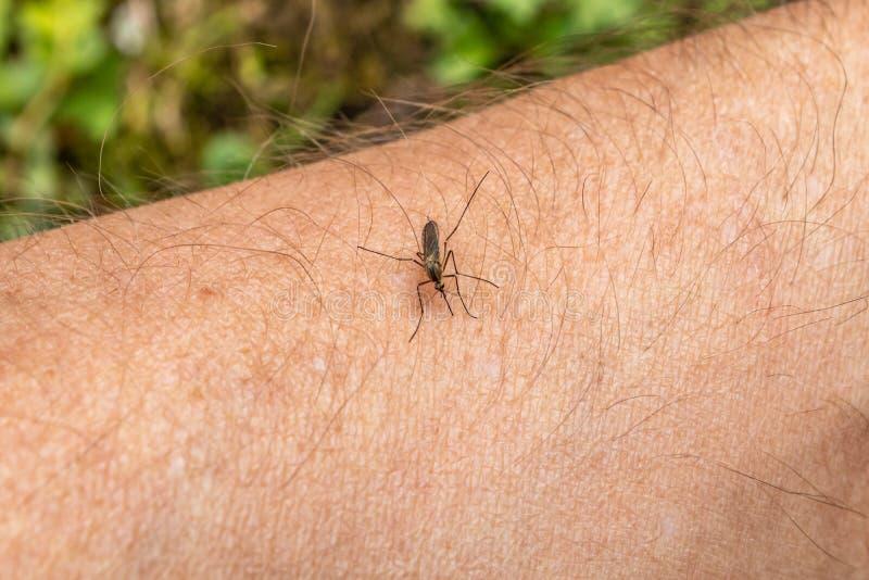 Ένα κουνούπι κάθεται σε ετοιμότητα, διαπερνά το δέρμα και απορροφά το ανθρώπινο αίμα Προκαλεί την ελονοσία ασθενειών Τα κουνούπια στοκ εικόνες με δικαίωμα ελεύθερης χρήσης
