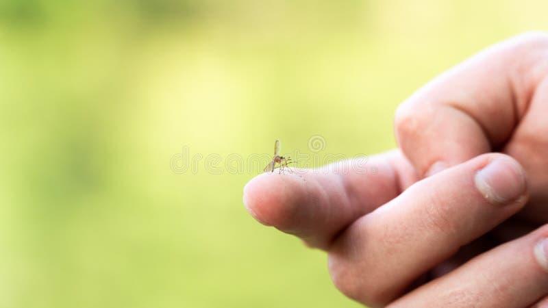 Ένα κουνούπι κάθεται σε ετοιμότητα, διαπερνά το δέρμα και απορροφά το ανθρώπινο αίμα Προκαλεί την ελονοσία ασθενειών Τα κουνούπια στοκ εικόνα