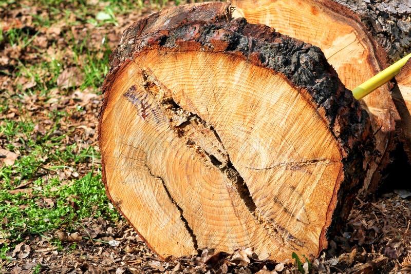Ένα κούτσουρο δέντρων έτοιμο για την κοπή Κούτσουρο πεύκων, περικοπή για να μετρήσει το κούτσουρο πεύκων radiata έτοιμο να πάρει  στοκ φωτογραφία με δικαίωμα ελεύθερης χρήσης