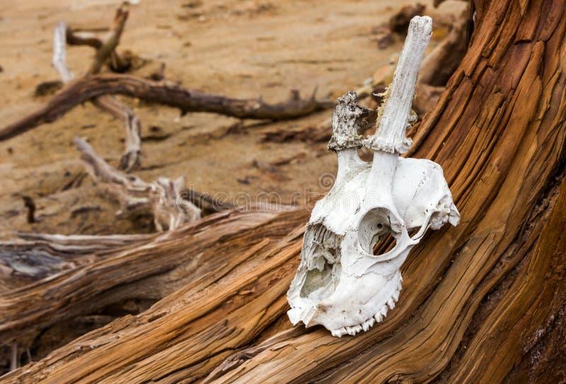 Ένα κρανίο ενός ζώου σε ένα νεκρό δέντρο, ένα είδωλο για τη λατρεία στοκ φωτογραφίες με δικαίωμα ελεύθερης χρήσης