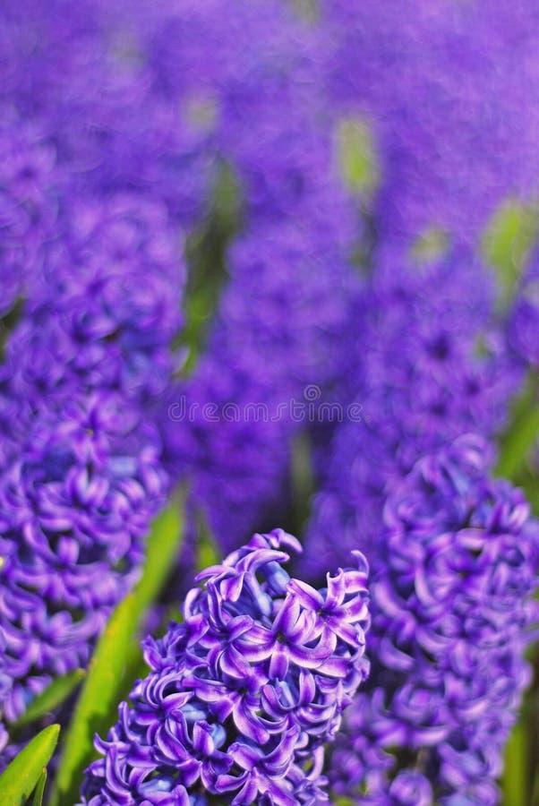 Ένα κρεβάτι του ιώδους, πορφυρού & μπλε λουλουδιού υάκινθων που λαμβάνεται σε ένα πάρκο με τη διαποτισμένη επίδραση στοκ εικόνα