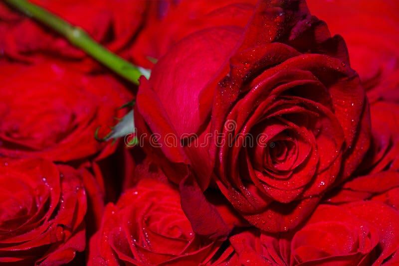 Ένα κόκκινο αυξήθηκε άνθιση Αυξήθηκε πέταλα Φυσικό φωτεινό υπόβαθρο τριαντάφυλλων Ένας στενός επάνω μακρο πυροβολισμός Κόκκινος α στοκ εικόνες με δικαίωμα ελεύθερης χρήσης