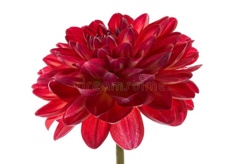 Ένα κόκκινο λουλούδι νταλιών σε ένα άσπρο υπόβαθρο που απομονώνεται η ντάλια όρων ανθίζει το φυσικό κόκκινο στοκ εικόνες