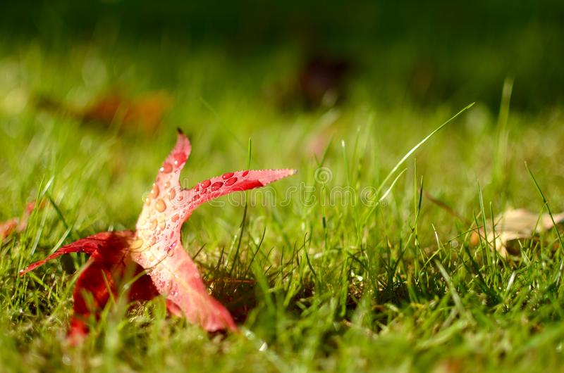 Ένα κόκκινο φύλλο φθινοπώρου που βρίσκεται στην πράσινη χλόη στοκ εικόνα με δικαίωμα ελεύθερης χρήσης