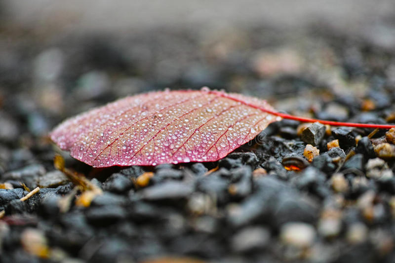 Download Ένα κόκκινο φύλλο και περισσότεροι ποτίζουν τις πτώσεις Στοκ Εικόνα - εικόνα από λεπτομέρεια, χρώμα: 62707681