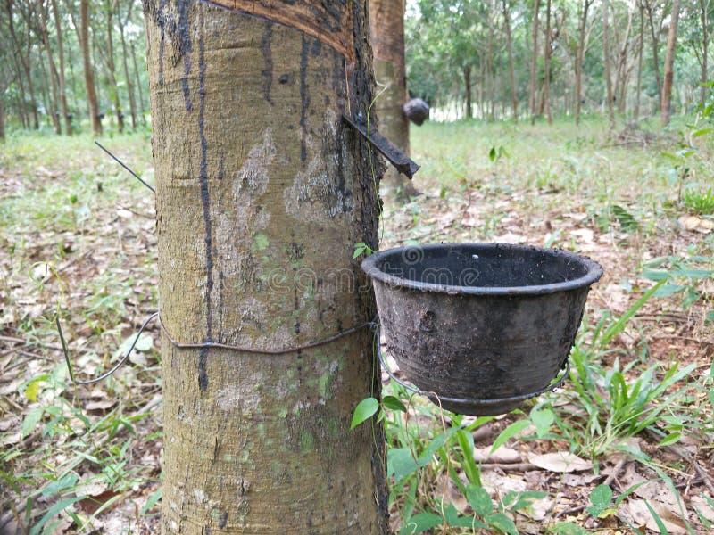 Ένα λαστιχένιο δέντρο στον κήπο στοκ φωτογραφία με δικαίωμα ελεύθερης χρήσης
