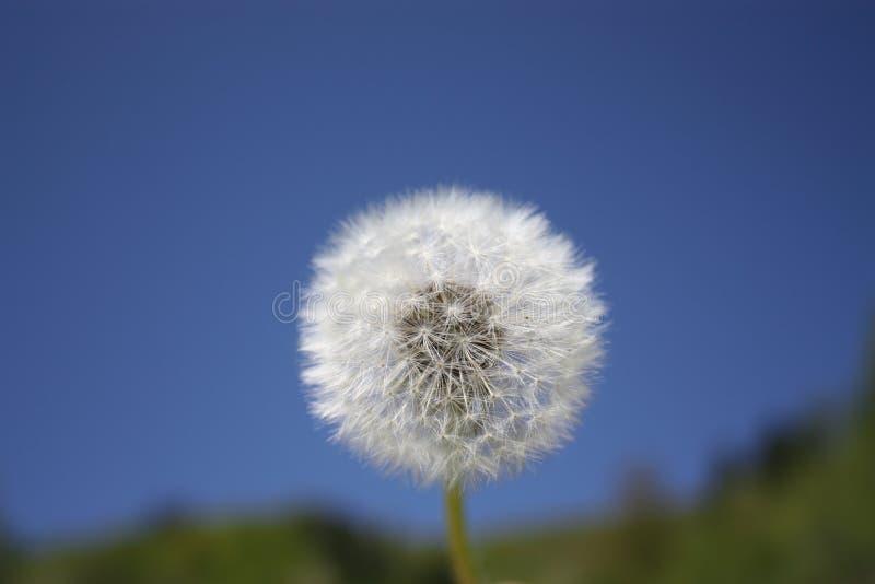 Ένα λεκιασμένο λουλούδι της πεταλούδας στο μπλε ουρανό στοκ εικόνες