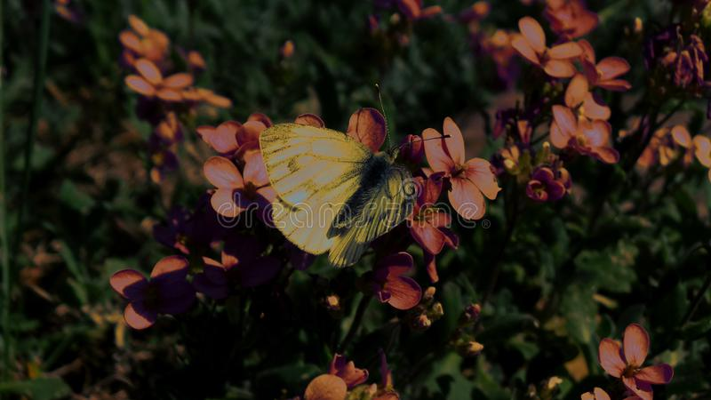 Ένα λευκό λάχανων πεταλούδων πίνει το νέκταρ της ημέρας λουλουδιών alpina Arabis την άνοιξη στοκ φωτογραφία με δικαίωμα ελεύθερης χρήσης
