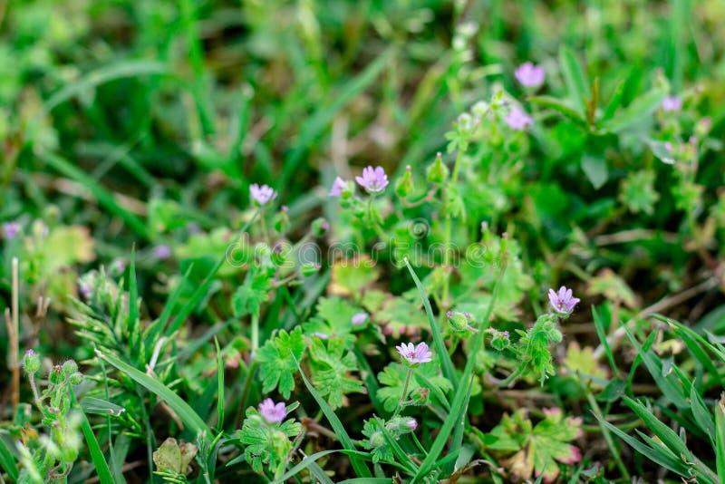 Ένα λιβάδι πλούσιο lavender, με το χαρακτηριστικό πορφυρό χρώμα του Το σύνολο χορτοταπήτων της πρασινάδας και της πολύβλαστης χλό στοκ εικόνες με δικαίωμα ελεύθερης χρήσης