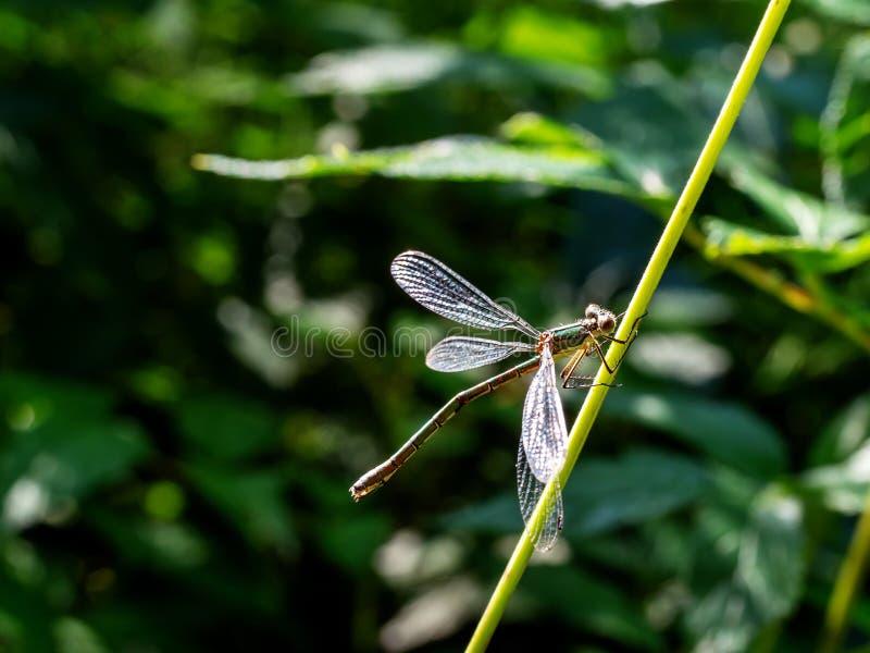 Ένα λιγοστό σμαραγδένιο Damselfly, dryas Lestes, στο θερινό ήλιο στοκ φωτογραφίες με δικαίωμα ελεύθερης χρήσης