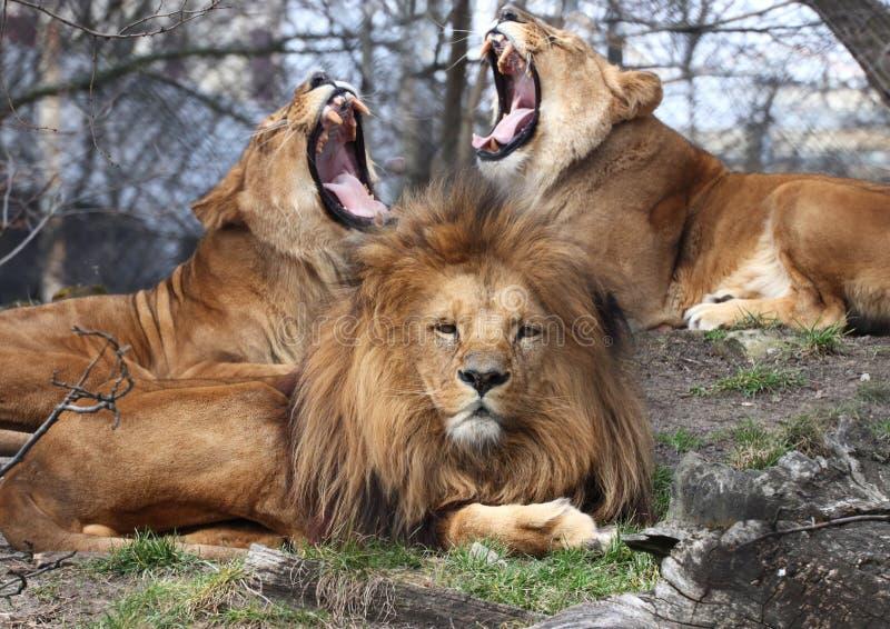Ένα λιοντάρι με τη λιονταρίνα δύο με το ανοικτό στόμα στοκ εικόνα με δικαίωμα ελεύθερης χρήσης