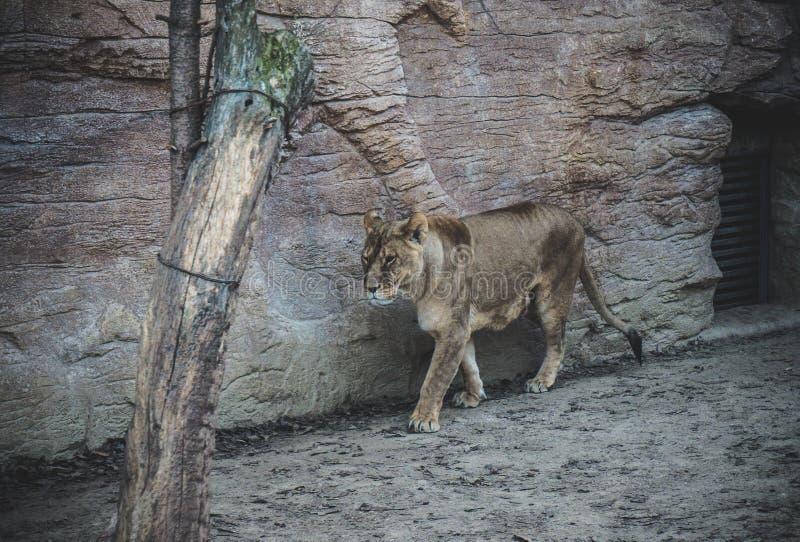 Ένα λιοντάρι που περπατά στο δάσος στοκ φωτογραφίες