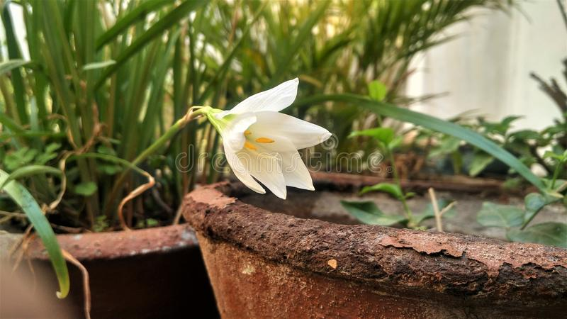 Ένα λουλούδι αποκαλούμενο vernus κρόκων στοκ εικόνες