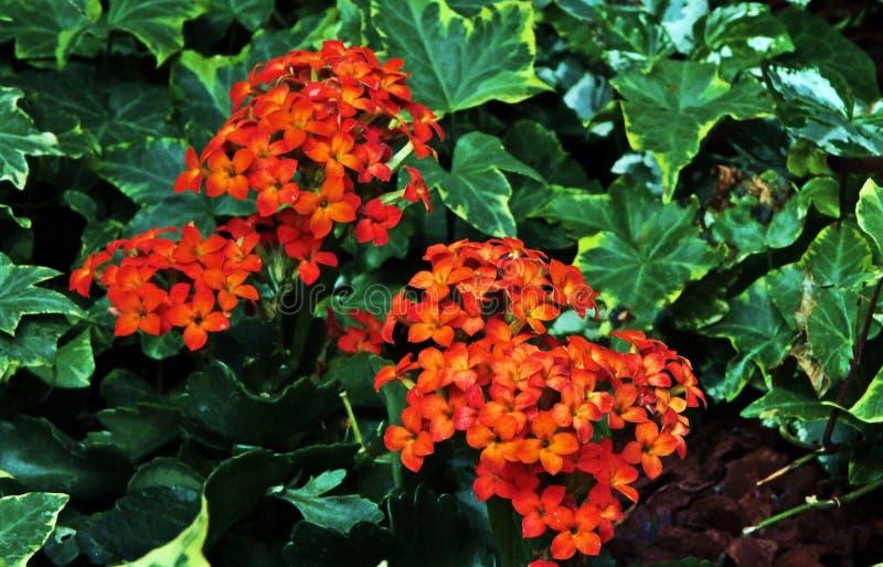 Ένα λουλούδι κοραλλιών που εξωραΐζει το χώμα σε ένα όμορφο θερμοκήπιο στοκ φωτογραφία