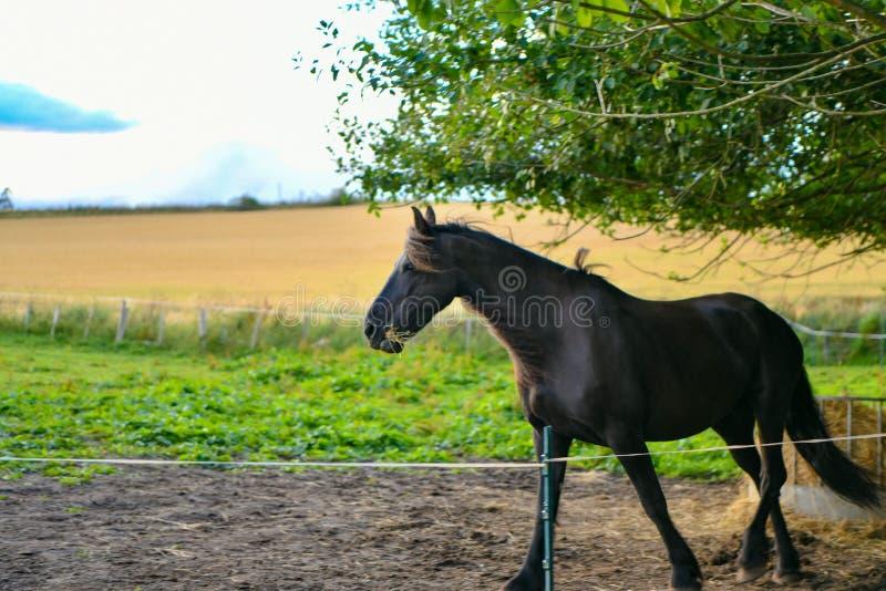 Ένα μαύρο άλογο σε ένα υπόβαθρο των κίτρινων αλεπούδων τομέων στη Σκωτία στοκ εικόνες με δικαίωμα ελεύθερης χρήσης