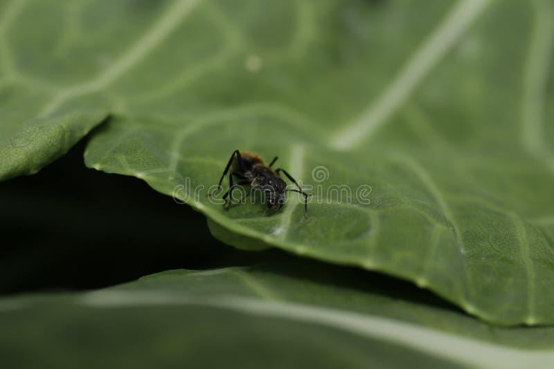 Ένα μαύρο μυρμήγκι που περπατά σε ένα πράσινο φύλλο στοκ εικόνες με δικαίωμα ελεύθερης χρήσης