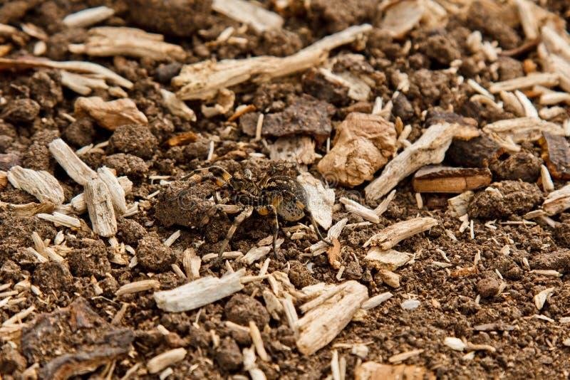 Ένα μεγάλο άσχημο tarantula αραχνών άλματος κάθεται στο έδαφος ενήλικη τριχωτή σερνμένος στενή επάνω μακροεντολή αραχνών λύκων στοκ εικόνες με δικαίωμα ελεύθερης χρήσης