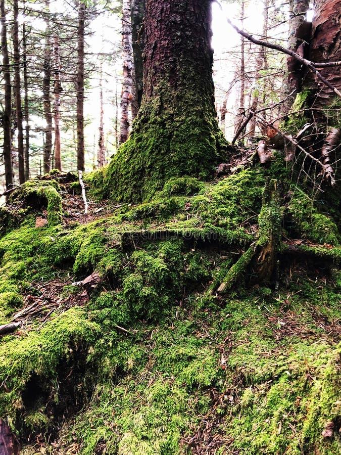 Ένα μεγάλο δέντρο με την ανάπτυξη βρύου στη ρίζα στα ξύλα στοκ εικόνες