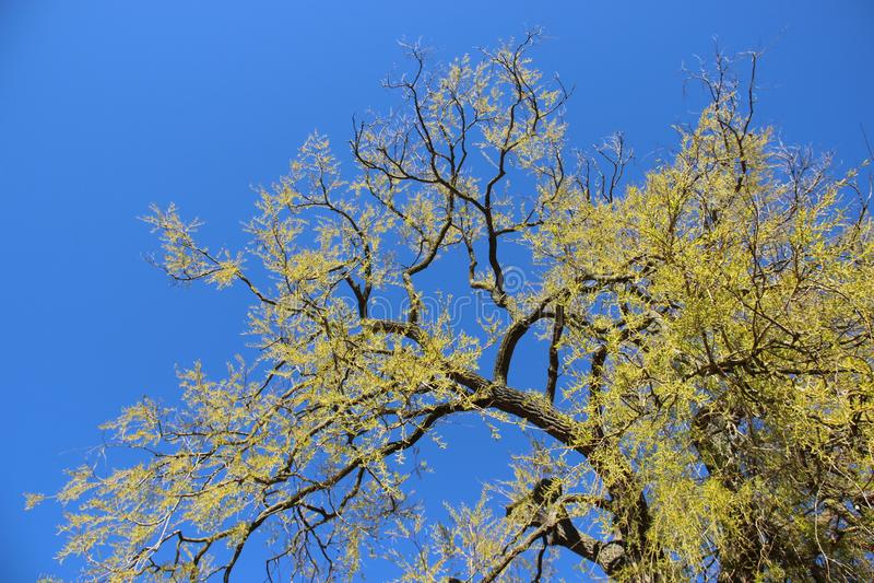 Ένα μεγάλο δέντρο που βλαστάνει τα νέα πράσινα φύλλα στην άνοιξη στοκ εικόνα με δικαίωμα ελεύθερης χρήσης