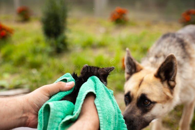 Ένα μεγάλο σκυλί και ένα μικρό γατάκι στα αρσενικά χέρια που ρουθουνίζουν το ένα το άλλο υπαίθριο r στοκ φωτογραφία