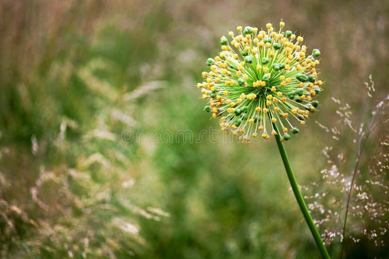Ένα μεγάλο στρογγυλό διακοσμητικό κίτρινο λουλούδι κρεμμυδιών ανθών στο πράσινο θολωμένο bokeh Allium κινηματογραφήσεων σε πρώτο  στοκ εικόνα με δικαίωμα ελεύθερης χρήσης
