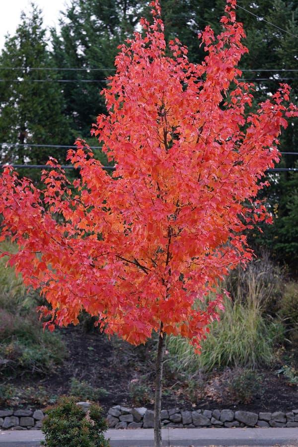Ένα μεγάλο υπέροχα διαμορφωμένο κόκκινο δέντρο σφενδάμνου στοκ εικόνα με δικαίωμα ελεύθερης χρήσης
