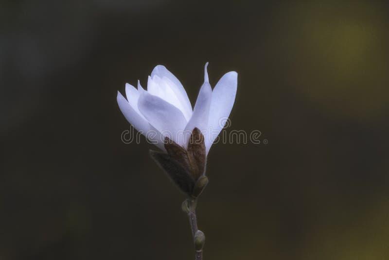 Ένα μεγάλο άσπρο λουλούδι magnolia σε έναν λεπτό κλάδο στοκ φωτογραφία