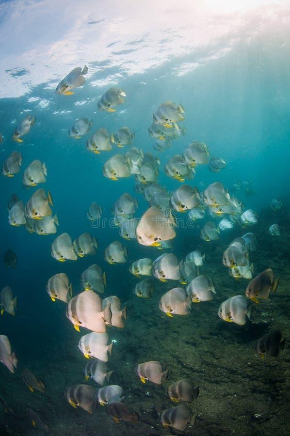 Ένα μεγάλο σχολείο του batfish στοκ εικόνα