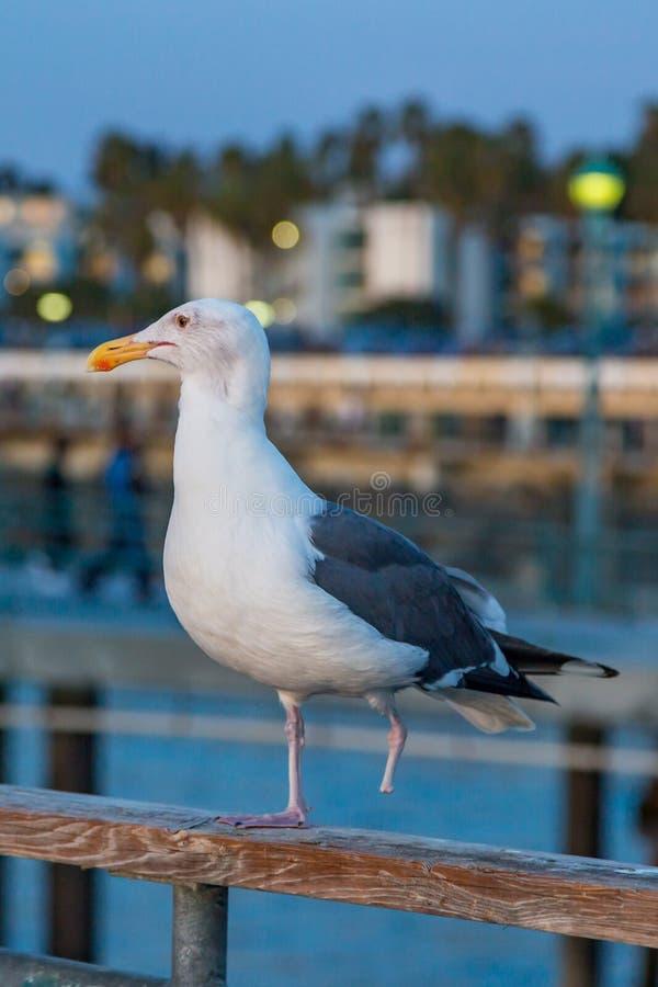 Ένα με πόδια Seagull στοκ εικόνα