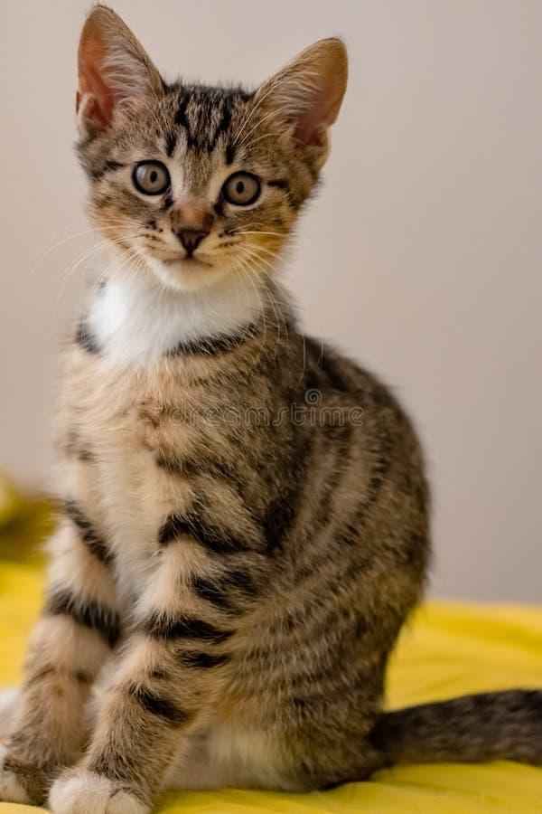 Ένα μικρό γατάκι εξετάζει τη κάμερα με το γλυκό κοιτάζει στοκ εικόνα