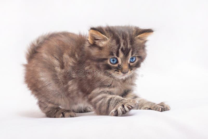 Ένα μικρό γατάκι με τα μπλε μάτια παίζει και προετοιμάζεται για ένα άλμα στοκ φωτογραφίες