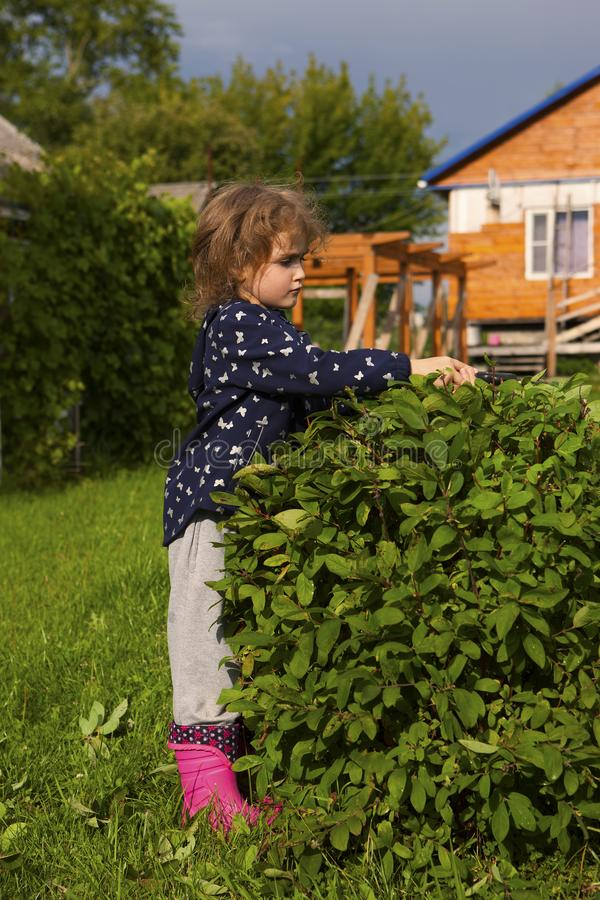 Ένα μικρό κορίτσι στην περικοπή επαρχίας ένα αγιόκλημα Μπους στον κήπο στοκ εικόνες