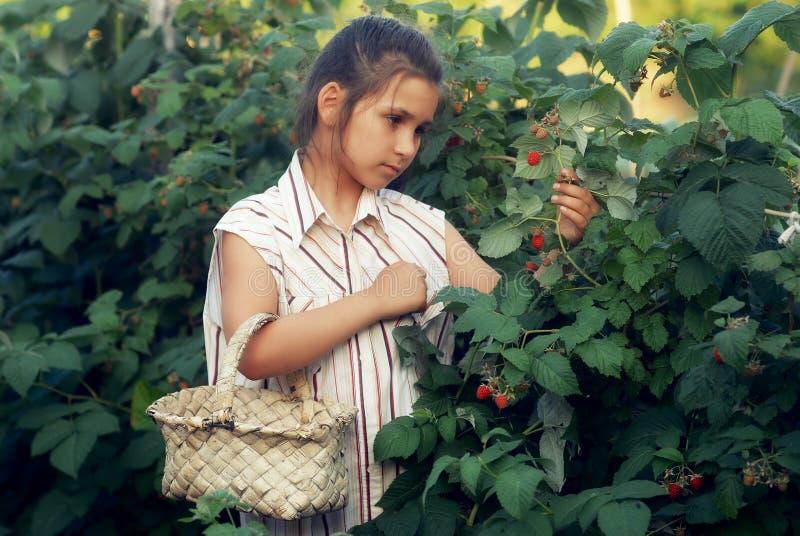 Ένα μικρό κορίτσι συλλέγει τα σμέουρα στον κήπο στοκ εικόνες