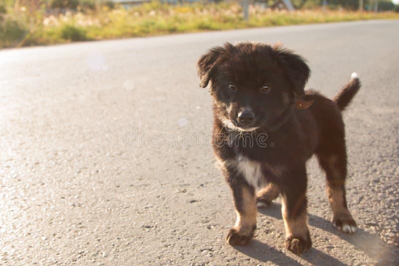 Ένα μικρό κουτάβι με ένα άσπρο σημείο στο στήθος του στέκεται στο δρόμο στις ακτίνες του ήλιου ρύθμισης στοκ φωτογραφία