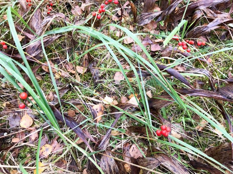 Ένα μικρό μόνο κόκκινο μούρο στα φωτεινά κίτρινα και φρέσκα πράσινα φύλλα φθινοπώρου και χλόη στο δάσος το υπόβαθρο στοκ εικόνες