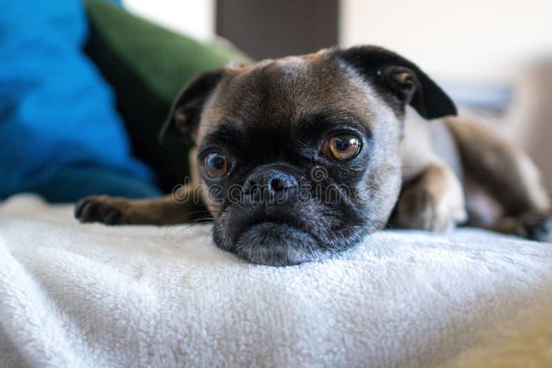 Ένα μικρό σκυλί με τα μεγάλα μάτια που βάζουν σε ένα κρεβάτι στοκ φωτογραφίες με δικαίωμα ελεύθερης χρήσης