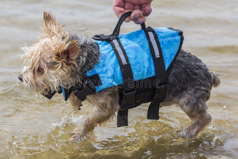 Ένα μικρό σκυλί που κατατίθεται στο νερό από τον ιδιοκτήτη του που χρησιμοποιεί το lifeja του στοκ φωτογραφίες