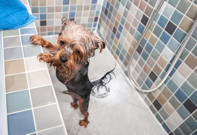 Ένα μικρό υγρό χαριτωμένο και όμορφο καθαρής φυλής σκυλί τεριέ του Γιορκσάιρ που προσπαθεί να δραπετεύσει από την μπανιέρα επειδή στοκ εικόνες