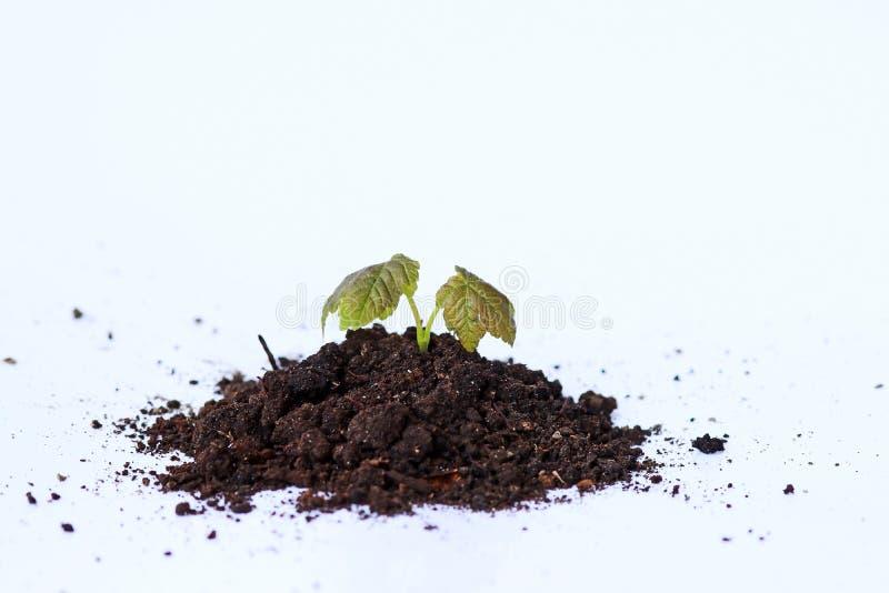 Ένα μικρό φυτό αυξάνεται από τη γη στοκ εικόνα