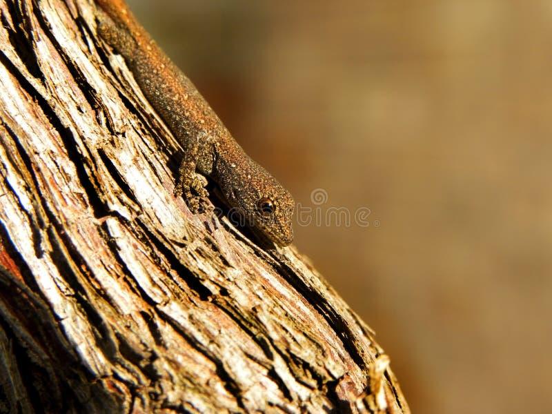 Μικρό Gecko 1 στοκ εικόνες