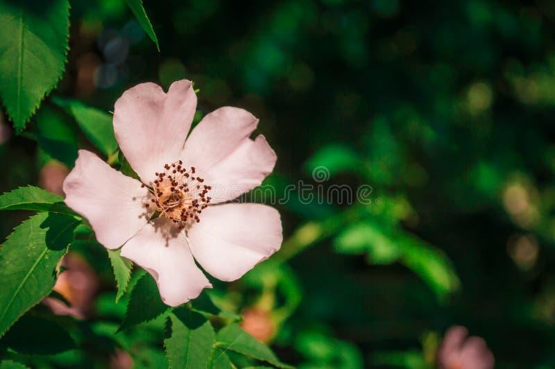 Ένα μπεζ χρώμα λουλουδιών μήλων στη μακροεντολή στοκ εικόνες με δικαίωμα ελεύθερης χρήσης