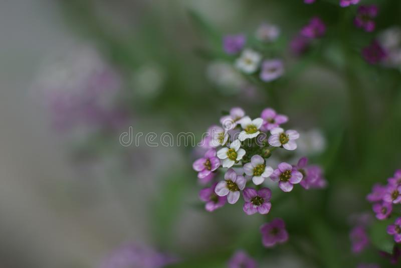 Ένα μυθικό μικρό άσπρο και ρόδινο λουλούδι, γλυκό alyssum στοκ εικόνες με δικαίωμα ελεύθερης χρήσης