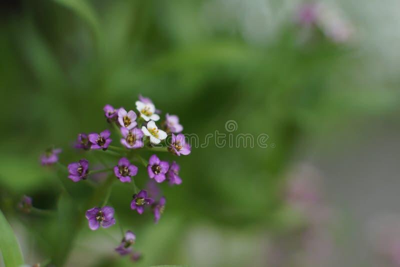 Ένα μυθικό μικρό άσπρο και ρόδινο λουλούδι, γλυκό alyssum στοκ φωτογραφίες