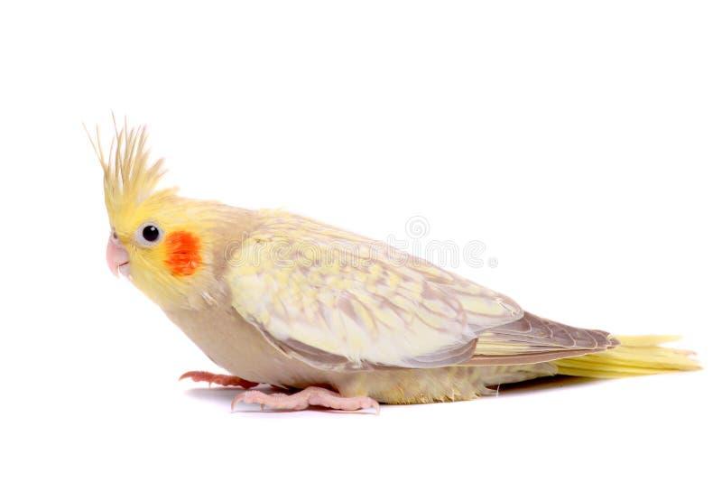 Ένα μωρό cockatiel parakeet στοκ φωτογραφίες με δικαίωμα ελεύθερης χρήσης