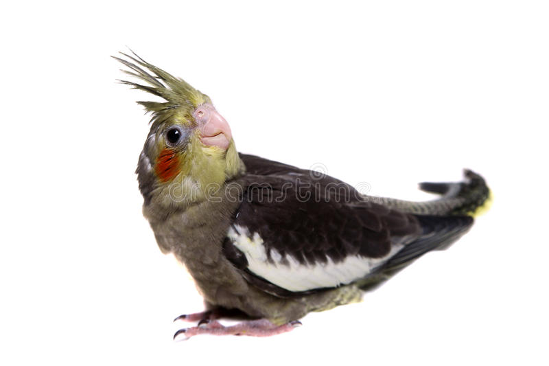 Ένα μωρό cockatiel parakeet στοκ εικόνες