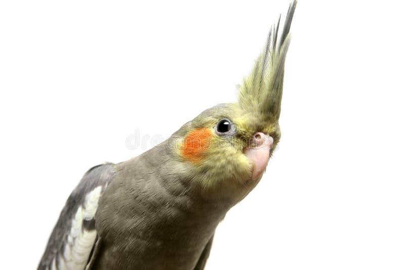Ένα μωρό cockatiel parakeet στοκ φωτογραφία με δικαίωμα ελεύθερης χρήσης