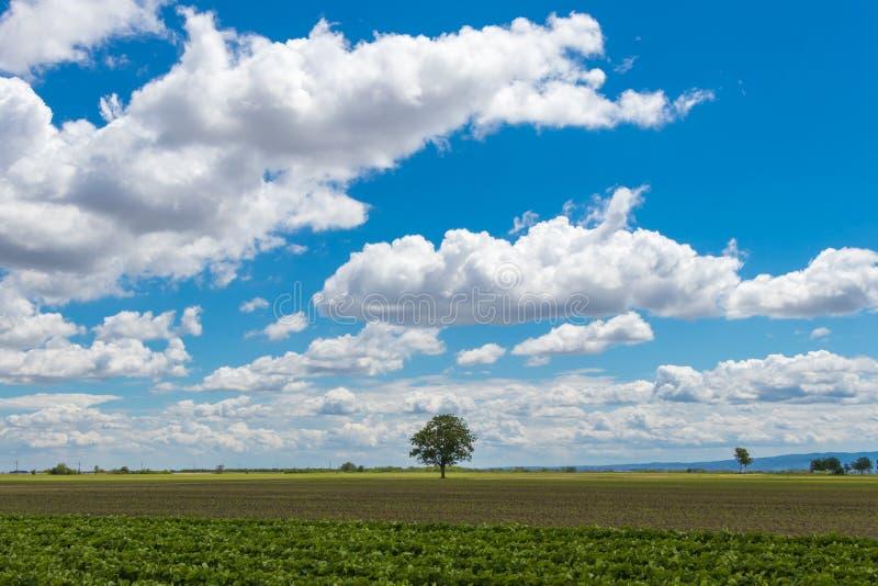Ένα μόνο δέντρο μεταξύ ενός γεωργικού τομέα Vojvodina, Σερβία στοκ φωτογραφία