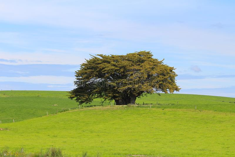 Ένα μόνο δέντρο που περιβάλλεται από τα πράσινα λιβάδια, το Catlins, νότιο νησί, Νέα Ζηλανδία στοκ φωτογραφία με δικαίωμα ελεύθερης χρήσης